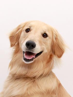 エムドッグス,動物プロダクション,ペットモデル,ペットタレント,モデル犬,タレント犬,ゴールデンレトリーバー,もおか