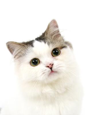 エムドッグス,動物プロダクション,ペットモデル,ペットタレント,モデル猫,タレント猫,スコティッシュフォールド,おはぎ