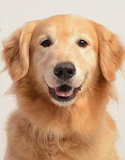 エムドッグス,動物プロダクション,ペットモデル,ペットタレント,モデル犬,タレント犬,ゴールデンレトリーバー,ハル