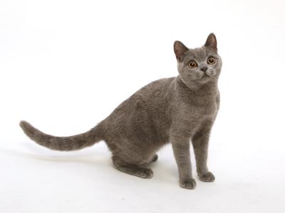 エムドッグス,動物プロダクション,ペットモデル,ペットタレント,モデル猫,タレント猫,ブリティッシュショートヘア,ココ
