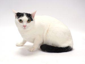 エムドッグス,動物プロダクション,ペットモデル,ペットタレント,モデル猫,タレント猫,MIX,マシロ