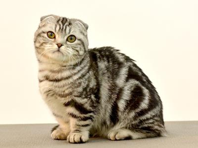 エムドッグス,動物プロダクション,ペットモデル,ペットタレント,モデル猫,タレント猫,マンチカン,まんちよ
