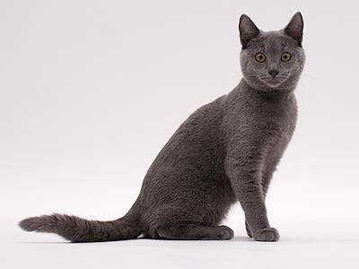 エムドッグス,動物プロダクション,ペットモデル,ペットタレント,モデル猫,タレント猫,シャルトリュー,ロワ