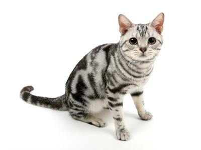 エムドッグス,動物プロダクション,ペットモデル,ペットタレント,モデル猫,タレント猫,アメリカンショートヘア,ユウ
