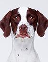 エムドッグス,動物プロダクション,ペットモデル,ペットタレント,モデル犬,タレント犬,イングリッシュポインター,レーヴェ