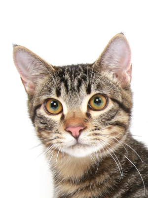 エムドッグス,動物プロダクション,ペットモデル,ペットタレント,モデル猫,タレント猫,MIX,タイガ
