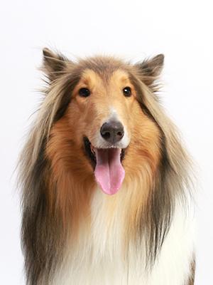 エムドッグス,動物プロダクション,ペットモデル,ペットタレント,モデル犬,タレント犬,ラフコリー,こはく