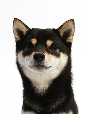 エムドッグス,動物プロダクション,ペットモデル,ペットタレント,モデル犬,タレント犬,柴犬,ウムラウト