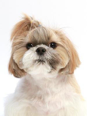 エムドッグス,動物プロダクション,ペットモデル,ペットタレント,モデル犬,タレント犬,シーズー,こじろう