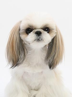 エムドッグス,動物プロダクション,ペットモデル,ペットタレント,モデル犬,タレント犬,シーズー,あん