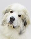エムドッグス,動物プロダクション,ペットモデル,ペットタレント,モデル犬,タレント犬,グレートピレニーズ,ジョシュワ
