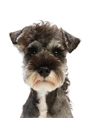 エムドッグス,動物プロダクション,ペットモデル,ペットタレント,モデル犬,タレント犬,ミニチュアシュナウザー,蘭丸(らんまる)