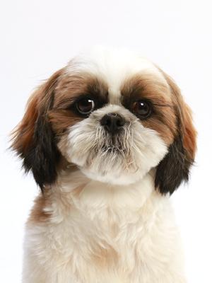 エムドッグス,動物プロダクション,ペットモデル,ペットタレント,モデル犬,タレント犬,シーズー,あずき