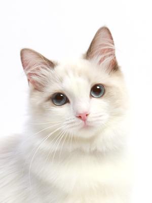エムドッグス,動物プロダクション,ペットモデル,ペットタレント,モデル猫,タレント猫,ラグドール,いちご