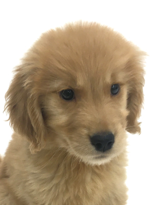 エムドッグス,動物プロダクション,ペットモデル,ペットタレント,モデル犬,タレント犬,ゴールデンレトリーバー,ビビ
