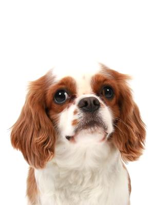 エムドッグス,動物プロダクション,ペットモデル,ペットタレント,モデル犬,タレント犬,キャバリアキングチャールズスパニエル,チャム