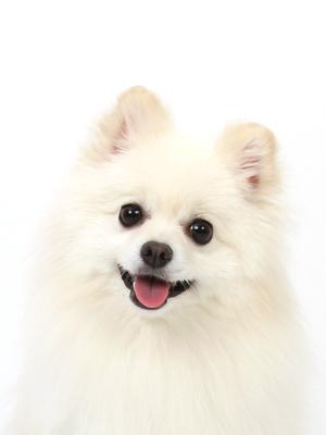 エムドッグス,動物プロダクション,ペットモデル,ペットタレント,モデル犬,タレント犬,ポメラニアン,ルビ