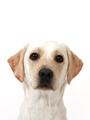 エムドッグス,動物プロダクション,ペットモデル,ペットタレント,モデル犬,タレント犬,ラブラドールレトリーバー,バニラ