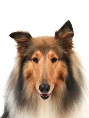 エムドッグス,動物プロダクション,ペットモデル,ペットタレント,モデル犬,タレント犬,ラフコリー,ラスター