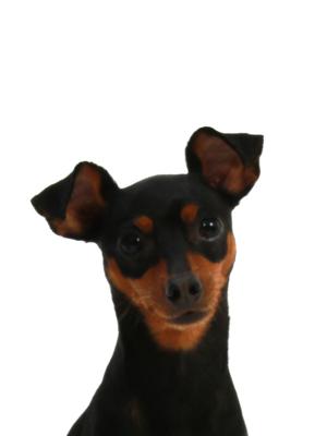 エムドッグス,動物プロダクション,ペットモデル,ペットタレント,モデル犬,タレント犬,ミニチュアピンシャー,ミッキー
