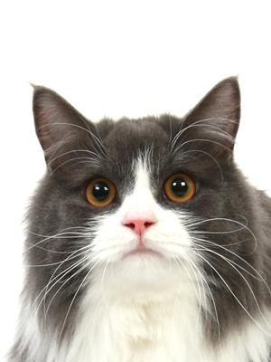 エムドッグス,動物プロダクション,ペットモデル,ペットタレント,モデル猫,タレント猫,ミヌエット,そら