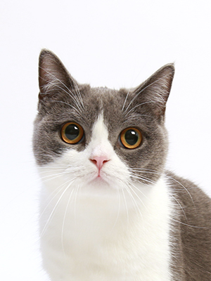 エムドッグス,動物プロダクション,ペットモデル,ペットタレント,モデル猫,タレント猫,ブリティッシュショートヘア,瑠璃(ルリ)