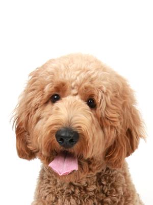 エムドッグス,動物プロダクション,ペットモデル,ペットタレント,モデル犬,タレント犬,ゴールデンドゥードル,みー