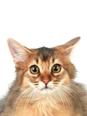 エムドッグス,動物プロダクション,ペットモデル,ペットタレント,モデル猫,タレント猫,ソマリ,フィガロ