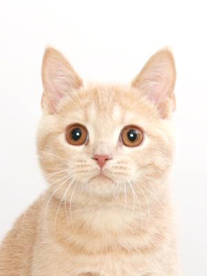 エムドッグス,動物プロダクション,ペットモデル,ペットタレント,モデル猫,タレント猫,ブリティッシュショートヘア,リノン
