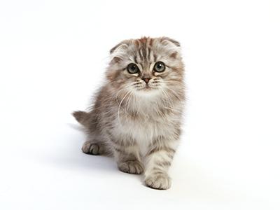 エムドッグス,動物プロダクション,ペットモデル,ペットタレント,モデル猫,タレント猫,スコティッシュショートヘア,キティ