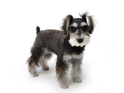 エムドッグス,動物プロダクション,ペットモデル,ペットタレント,モデル犬,タレント犬,ミニチュアシュナウザー,ラテ