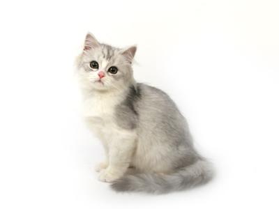 エムドッグス,動物プロダクション,ペットモデル,ペットタレント,モデル猫,タレント猫,ペルシャ,銀牙