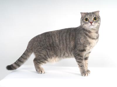 エムドッグス,動物プロダクション,ペットモデル,ペットタレント,モデル猫,タレント猫,スコティッシュフォールド,にこ