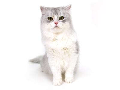 ペットモデル,動物プロダクション,ペットモデル,ペットタレント,モデル猫,タレント猫,ペルシャ,銀牙,ぎんが