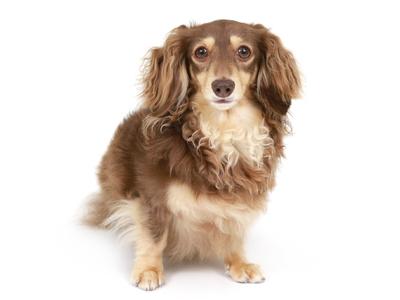 エムドッグス,動物プロダクション,ペットモデル,ペットタレント,モデル犬,タレント犬,カニーヘンダックスフンド,ぽん太