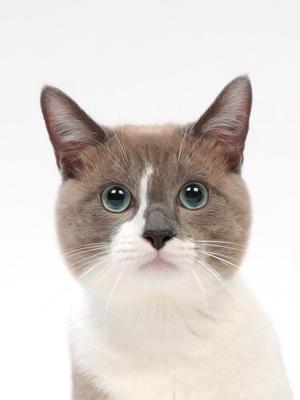エムドッグス,動物プロダクション,ペットモデル,ペットタレント,モデル猫,タレント猫,マンチカン,ミルキー