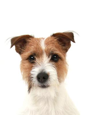 エムドッグス,動物プロダクション,ペットモデル,ペットタレント,モデル犬,タレント犬,ジャックラッセルテリア,おはぎ