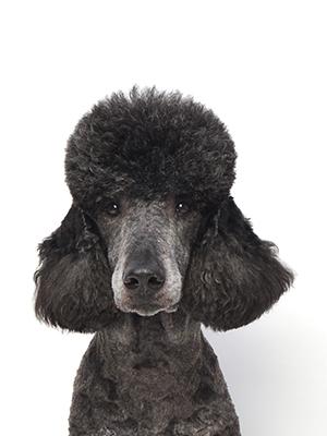 エムドッグス,動物プロダクション,ペットモデル,ペットタレント,モデル犬,タレント犬,スタンダードプードル,オリゾン