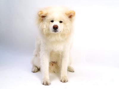 ペットモデル 秋田犬 福