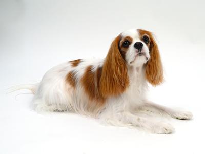 エムドッグス,動物プロダクション,ペットモデル,ペットタレント,モデル犬,タレント犬,キャバリアキングチャールズスパニエル,まろん
