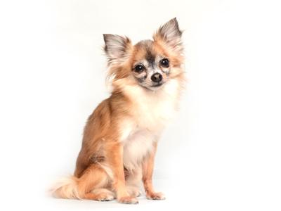 エムドッグス,動物プロダクション,ペットモデル,ペットタレント,モデル犬,タレント犬,ミックス犬,ハチミツ