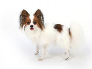 エムドッグス,動物プロダクション,ペットモデル,ペットタレント,モデル犬,タレント犬,パピヨン,ルナ