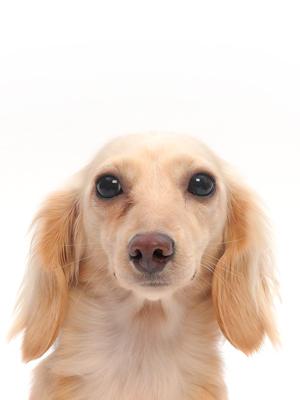 エムドッグス,動物プロダクション,ペットモデル,ペットタレント,モデル犬,タレント犬,カニンヘンダックスフンド,ウェンディ