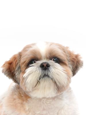 エムドッグス,動物プロダクション,ペットモデル,ペットタレント,モデル犬,タレント犬,シーズー,ぽん丸