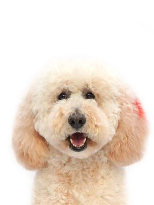エムドッグス,動物プロダクション,ペットモデル,ペットタレント,モデル犬,タレント犬,ゴールデンドゥードル,アネラ