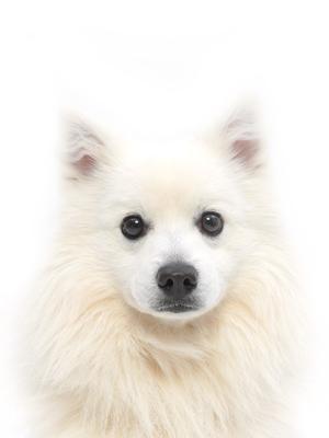 エムドッグス,動物プロダクション,ペットモデル,ペットタレント,モデル犬,タレント犬,日本スピッツ,Coco(ココ)