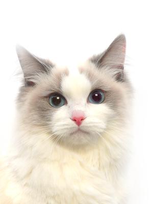 エムドッグス,動物プロダクション,ペットモデル,ペットタレント,モデル猫,タレント猫,ラグドール,ミーチャ