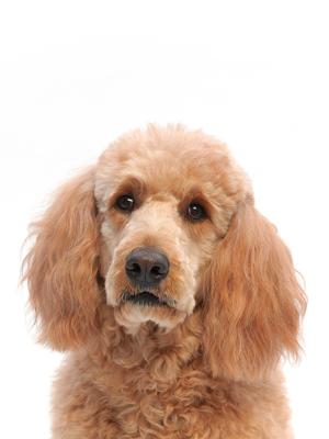 エムドッグス,動物プロダクション,ペットモデル,ペットタレント,モデル犬,タレント犬,ゴールデンドゥードル,ベリー