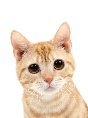 エムドッグス,動物プロダクション,ペットモデル,ペットタレント,モデル猫,タレント猫,アメリカンショートヘア,虎鉄