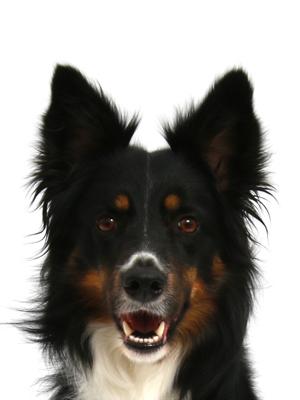 エムドッグス,動物プロダクション,ペットモデル,ペットタレント,モデル犬,タレント犬,ボーダーコリー,SIMBA(シンバ)